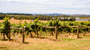 Brangayne Winery (Merrillie) Tags: nsw orangensw grapes scenery landscape australia centralwestnsw scenic wines vineyard vines rural countryside newsouthwales brangaynewinery
