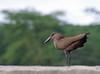 IMGP9055b (Micano2008) Tags: lagonaivasha pentax africa kenia aves avemartillo scopusumbretta