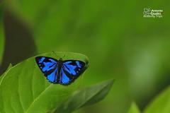 Poritia erycinoides (Antonio Giudici Butterfly Trips) Tags: thailand ranong butterflies lepidoptera lycaenidae poritinae