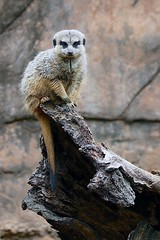 Sentry Duty (Pat L.314) Tags: animal mammal meerkat mongoose insectivore sentry rocks rocky outdoor nature tulsazoo coth supershot