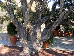 Deste não tiram cortiça (Américo Meira) Tags: portugal lisboa sobreiro parqueinfantil alvito monsanto tronco ramo
