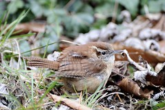 Bewick's Wren ( Thryomanes bewickii ) (benth0s) Tags: uccello uccellino little brown winter asheville north carolina nc