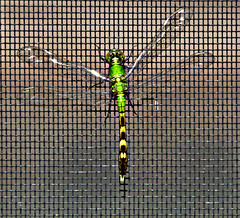 Dragon Fly from outside of screen (1 of 2) (gg1electrice60) Tags: palmharbor florida fl pinellascounty lanai screen poolenclosure dragonfly green screentest translucentwings