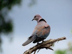 Rooiborsduifie / Laughing Dove. (Bruwer Burger.) Tags: rooiborsduifie laughing dove coth5 specanimal ngc npc