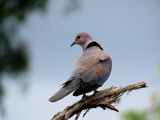 Rooiborsduifie / Laughing Dove.