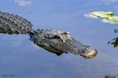 American Alligator (SteveProsser) Tags: florida alligator everglades evergladesnationalpark americanalligator royalpalm anhingatrail royalpalmvisitorcentre canoneosm