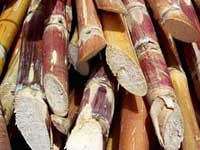 "Sugar Cane <a style = ""margin-left: 10px; fontstørrelse: 0.8em;"" href = ""http://www.flickr.com/photos/133150671@N06/18005698703/"" target = ""_ blank""> @ flickr </a>"