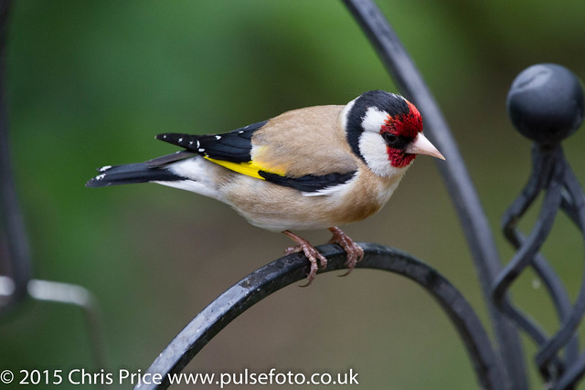 Goldfinch