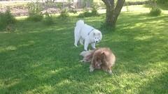 MOV_0173_000 (mona.mono) Tags: puppy samoyed sommer hedda raja kjrester valp 2015 7mnd 20kg kjrestepar samojed 54cm juni15 finsklapphund