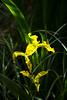Iris_6449 (hallbæck) Tags: plante denmark moor bog blomst mose skov iridaceae svärdslilja lyngbyåmose irisjaune irispseudacorusl guliris awesomeblossoms moseblomst irisfamilien sverdlilja sumpfschwertlillie lyngbytårbækkommune