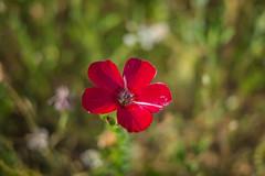 Série Fleur 2015 - 3 (Macsous) Tags: alpes lyon fleur fleurs flower flowers gazon herbe herbes japonais jardin jaune mauvaise rhone solaize tige verdoyant vert
