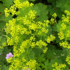 We are not all the same - fortunately! (Seayard) Tags: green perennial alchemillamollis ladysmantle staude grn lvefod