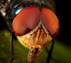 The Eyes Have It. (Darts5) Tags: macro closeup fly flies upclose flyeyes flyeye flyhead