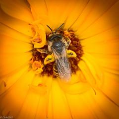 emsig (clearfotografie) Tags: detail macro nature nikon natur pflanzen blumen makro insekt blüten d600 afsnikkormicro10528gifed