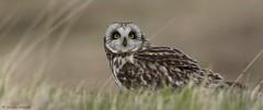 Short-eared Owl (KHR Images) Tags: wild bird nature fauna scotland nikon innerhebrides wildlife raptor owl isleofmull glenmore shortearedowl asioflammeus 80400mmf4556 d7100 kevinrobson khrimages