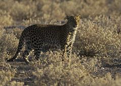 Leopard Etosha E48G8148 (susan yeomans) Tags: africa cat mammal feline wildlife safari leopard bigcat namibia etosha bigfive big5 africasafari etoshanationalpark namibiaetosha canon1dmark4 canon1dmk4 big5wildlife