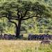 Zebras at Serengeti National Park - © 2015 Jean-François Schmitz