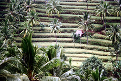 26-681 (ndpa / s. lundeen, archivist) Tags: trees bali color film field rural 35mm indonesia paddy 26 nick hill terraces farmland hills southpacific fields ricepaddies 1970s hillside 1972 indonesian ricepaddy coconuttrees paddies balinese dewolf oceania pacificislands terraced nickdewolf photographbynickdewolf terracedhillside terracedfarmland reel26