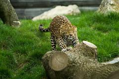 Visite du Zoo Pairi Daiza Belgique (Visit the Zoo Pairi Daiza Belgium) (edouardclaisse) Tags: animals canon zoo belgium belgique safari leopard animaux parc 70200 carnivore felin daiza faune enclos tirement pairi canon7d
