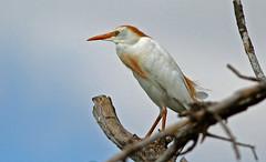 Cattle Egret (1krispy1) Tags: egrets cattleegret texasbirds