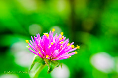Drama -0128 (MVMoore59) Tags: flowers durham northcarolina dukegardens flowersarebeautiful