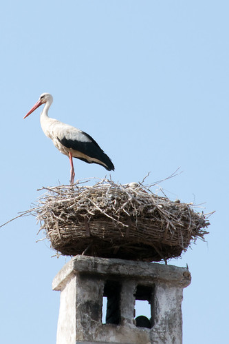 white stork Ciconia ciconia