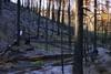 after the fire, grand canyon national park (twurdemann) Tags: americansouthwest arizona burnt forestfire fujixt1 fullercanyonroad fullerfire grandcanyon landscape lightningstrike morning nikcolorefex northrim ponderosapine sunlightfilter tonalcontrast trees unitedstates walhallaplateau wildfire xf1855mm