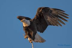 Bald Eagle-0527 (BluestarCK) Tags: birds eagles