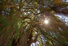 Árbol del Tule, Oaxaca (Geraint Rowland Photography) Tags: tree trees treeoflife worldlargesttree oaxaca mexico mitla santamariadetule árboldeltule naturephotography sunshine green flare sunflare lensflare wideangle geraintrowlandphotography travephotography latinamerica wonder