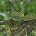 Green basilisk, Basiliscus plumifrons