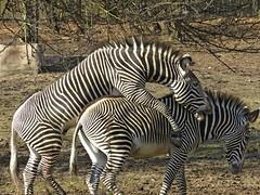Frisky Zebras (Photos by the Swamper) Tags: equines zebra