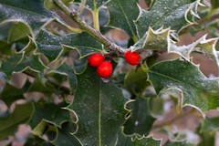 Holly_ (Andy Cash) Tags: 2016 andycash fenton frost smithpool smithpoolpark unitedkindom holly berries winter waterdrop nature plants