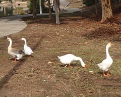 047 Hooligan Geese (saschmitz_earthlink_net) Tags: 2016 california kennethhahnpark losangelescounty losangeles baldwinhills park staterecreationarea hike hiking