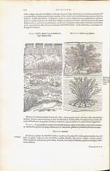 Plantin-Woodcut illustrations-1576 (melindahayes) Tags: 1576 qk41l7971576 lobelmatthiasde plantarum plantinchristophe folioformat latin