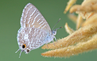 Eastern Tailed Blue  Butterfly 012