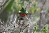 DSC_7240 (mylesm00re) Tags: m africa cinnyrischalybeus kleinrooibandsuikerbekkie nectariniidae sanparks southafrica southerndoublecollaredsunbird westcoastnationalpark westerncape bird