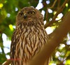 Barking Owl. Ninox connivens (paulberridge) Tags: barkingowl ninoxconnivens owl bird animal predator wild wildlife nature birdwatching birding native cannonphotography cannon macro cairns queensland australia capeyork brown white yellow rainforest forest bush outdoors