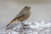 DSC8600  Black Redstart.. (jefflack Wildlife&Nature) Tags: blackredstart redstarts redstart birds avian animal wildlife wildbirds warbler warblers countryside coastalbirds songbirds nature
