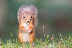 Red Squirrel With Nut (Barbara Evans 7) Tags: red squirrel with nut cairngorms scotland barbara evans7