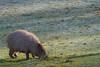A Frosty Graze (mark f2.9) Tags: marwell wildlife zoo capybara frost sunshine