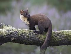 Scotland (richard.mcmanus.) Tags: scotland blackisle pinemarten britishwildlife mcmanus jamesmoore mustelid mammal gettyimages
