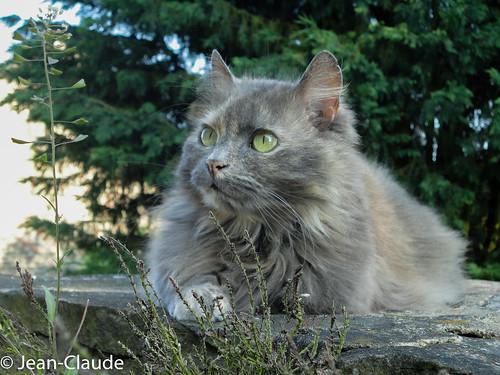 Domestic Cat ♀ long grey hairs