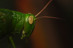 Header (rizal_rodelas) Tags: header grasshopper macro macrolife eye antennae nikon d90 rizalrodelas nopp nophotoshop kiss sanmateorizal philippines portrait insect green kristianongpinoy outdoor togodbetheglory