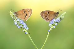 Little big magic... (Zbyszek Walkiewicz) Tags: butterflies butterfly sony closeup