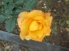 062 (en-ri) Tags: rosa rose giallo verde foglie leaves sony sonysti