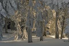 snow glow (Karl-Heinz Bitter) Tags: brocken jahreszeiten winter trees frost raureif frozen glow hessen glühen schnee wintertrees germany sachsenanhalt