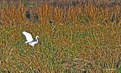 GREAT EGRET LANDING 2 (KayLov) Tags: nature environment ecology swamp phinizy augusta ga georgia creek water pond lake wildlife bird swim fly wade