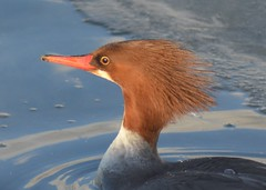 Common Merganser (steve_scordino) Tags: commonmerganser merganser duck red cuddypond anchorage bird portrait