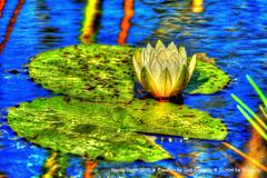 Water Lily (NancySmith133) Tags: waterlily lakeapopkanorthshorewildlifedrive centralfloridausa wetlands photopaintingflowers painterly textura