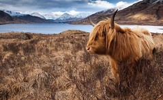 Highland Cow (cameron85) Tags: highland cow scotland trossachs loch arklet reservoir winter animal large cattle